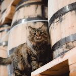 """Sugar Maple surveys her kingdom at Nelson's Greenbriar Distillery, where she's affectionately known as """"The Queen."""" Credit @ngbdistillery on Instagram."""