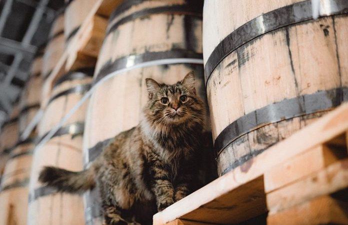 Sugar Maple surveys her kingdom at Nelson's Greenbriar Distillery, where she's affectionately known as