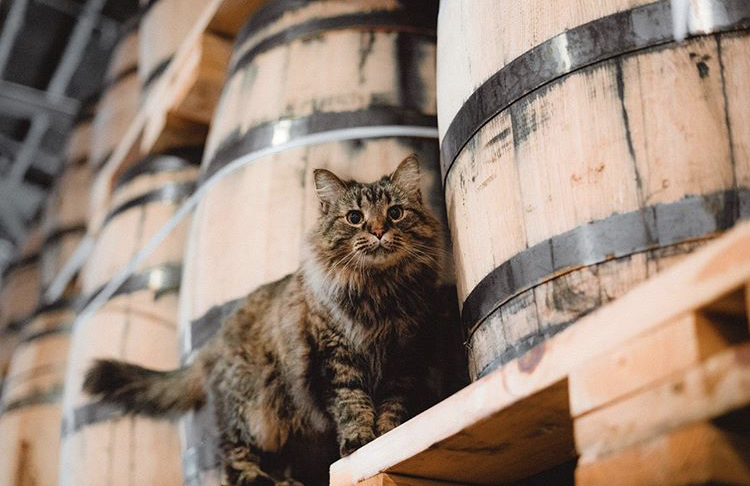 "Sugar Maple surveys her kingdom at Nelson's Greenbriar Distillery"" Credit @ngbdistillery on Instagram."